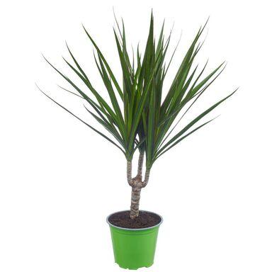 Rośliny tropikalne MIX 40-45 cm
