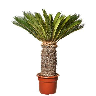Sagowiec Cycas Revoluta 150 cm