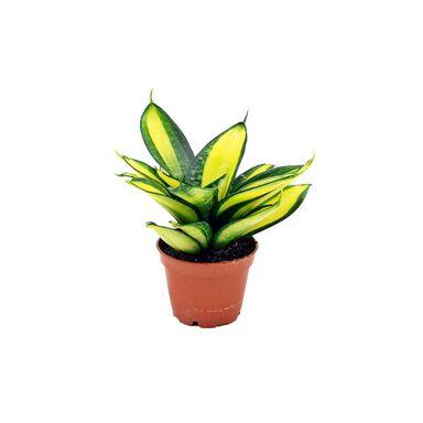 Sansewieria gwinejska 'Hahnii' MIX 10 cm