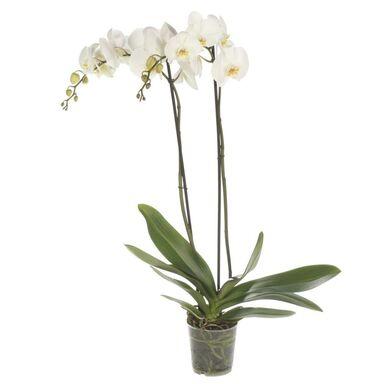 Storczyk Falenopsis biały 2 pędy 70 cm