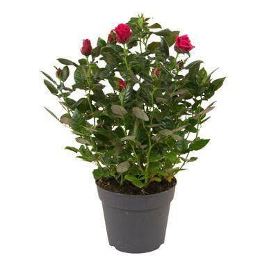 Róża miniaturowa MIX 45 cm