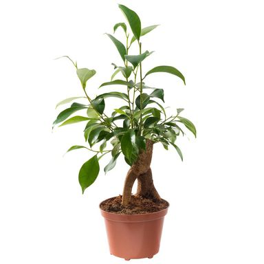 Bonsai Ficus Ginseng 25 - 30 cm
