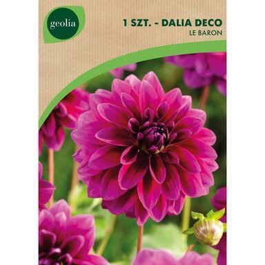 Cebulki kwiatów LE BARON Dalia pomponowa 1szt. GEOLIA