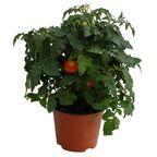 Pomidor koktajlowy karłowy 25 cm