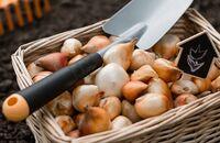 Wysadzanie jesiennych cebul kwiatowych