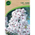 Floks wiechowaty MISS HOLLAND 1 szt. cebulki kwiatów GEOLIA
