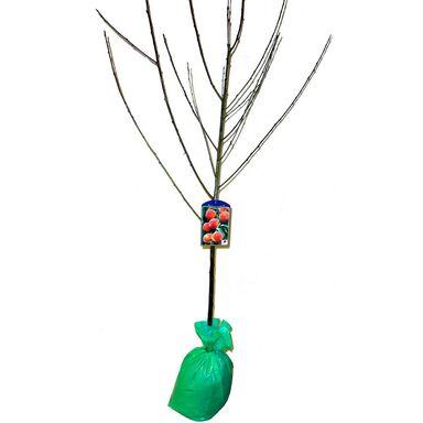 Brzoskwinia 150 - 200 cm