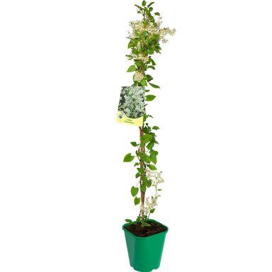 Sadzonka roślin pnących Rdestówka bucharska 90 cm