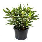 Roślina ogrodowa MIX Różanecznik 25 - 30 cm