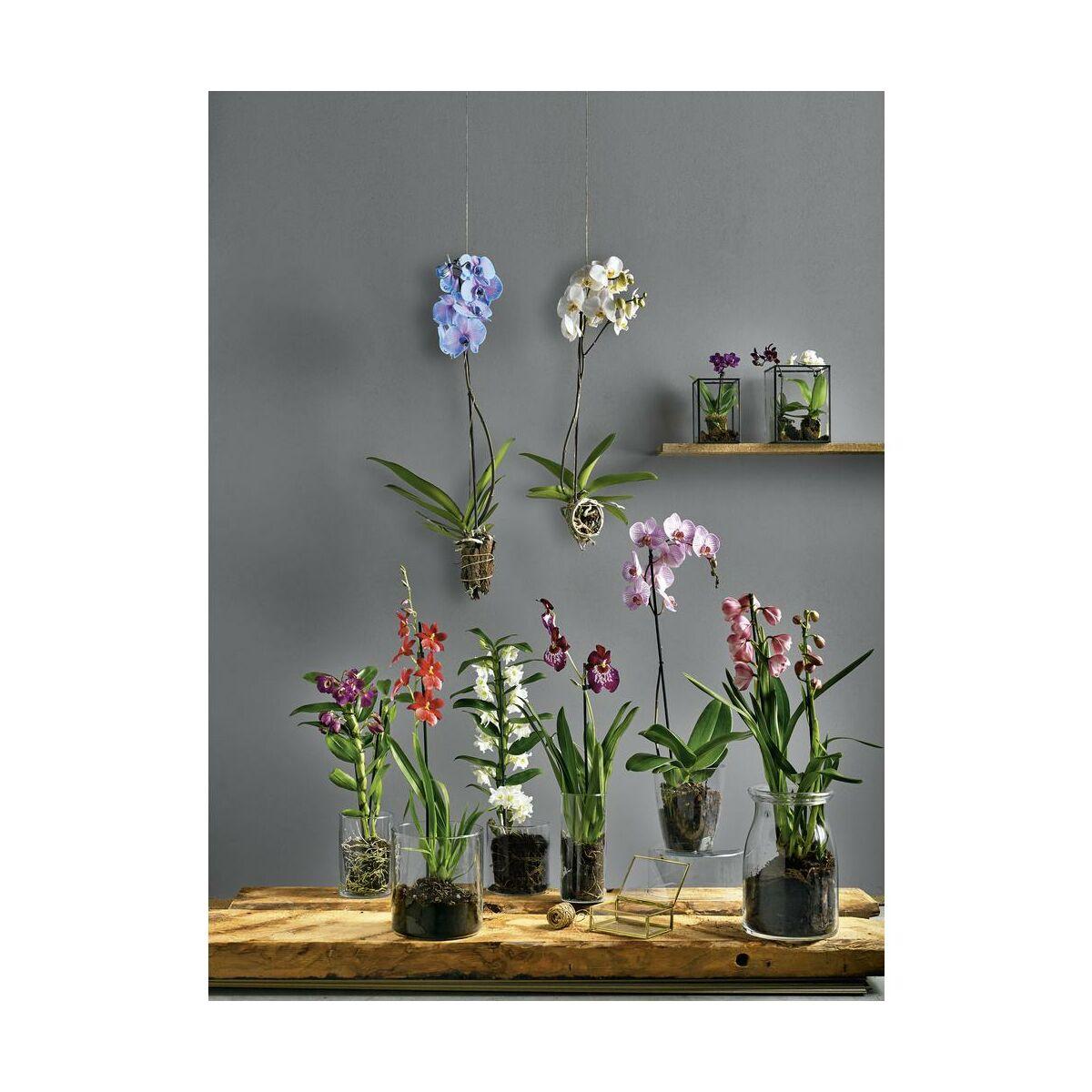 Storczyk Niebieski Falenopsis 1 Ped 60 70 Cm Rosliny Kwitnace W Atrakcyjnej Cenie W Sklepach Leroy Merlin