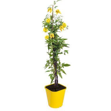 Powojnik botaniczny MIX 90 cm