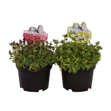 Roślina ogrodowa MIX Skalnica 12 cm