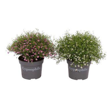 Roślina ogrodowa MIX Gipsówka 20 - 25 cm