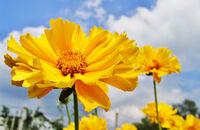 Nachyłek wielkokwiatowy