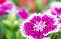 Kwiaty wieloletnie ogrodowe i na rabaty – jakie wybrać?