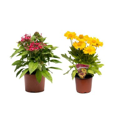 Roślina ogrodowa MIX Byliny 20 - 30 cm