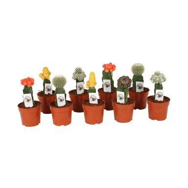 Kaktus 'Gymnocalycium' MIX 20-23 cm