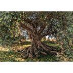 Fotografia ścienna OLIVE TREE 254 x 368 cm KOMAR