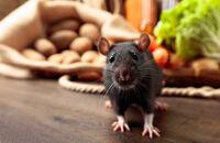 Szczury w domu, piwnicy i gospodarstwie. Jak się ich skutecznie pozbyć?