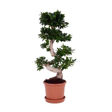 bonsai ficus ginseng 80 90 cm kwiaty doniczkowe w atrakcyjnej cenie w sklepach leroy merlin. Black Bedroom Furniture Sets. Home Design Ideas