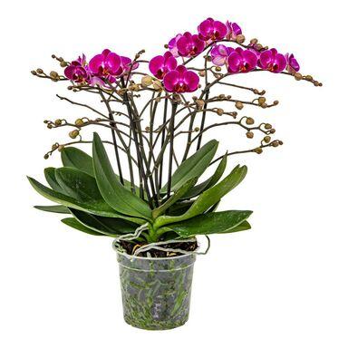 Storczyk Falenopsis Bellisimo MIX 50 cm