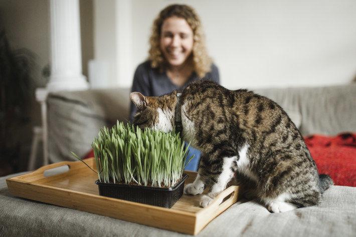 Kot jedzący trawę dla kotów