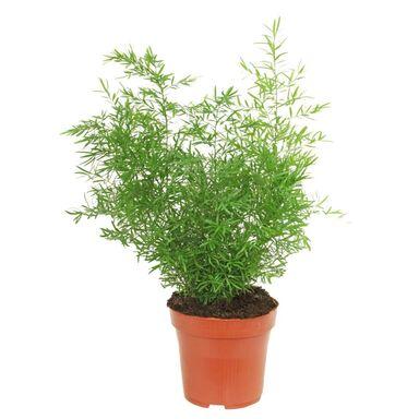 Asparagus MIX 35 cm