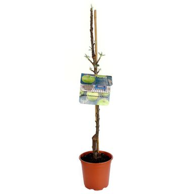 Jabłoń kolumnowa Ballerina® zielona 60 - 80 cm BERRY&MORE™