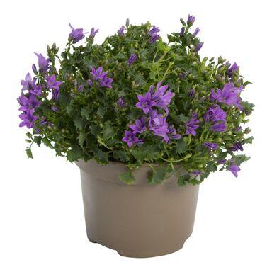 Dzwonek dalmatyński 'Intense Purple' 20 cm