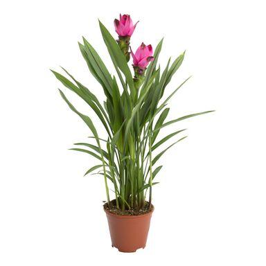 Kurkuma (Ostryż) 'Splash Pink' 70 cm