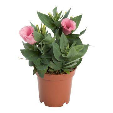 b90f132e51afad Eustoma wielkokwiatowa 17 cm - Kwiaty doniczkowe - w atrakcyjnej ...