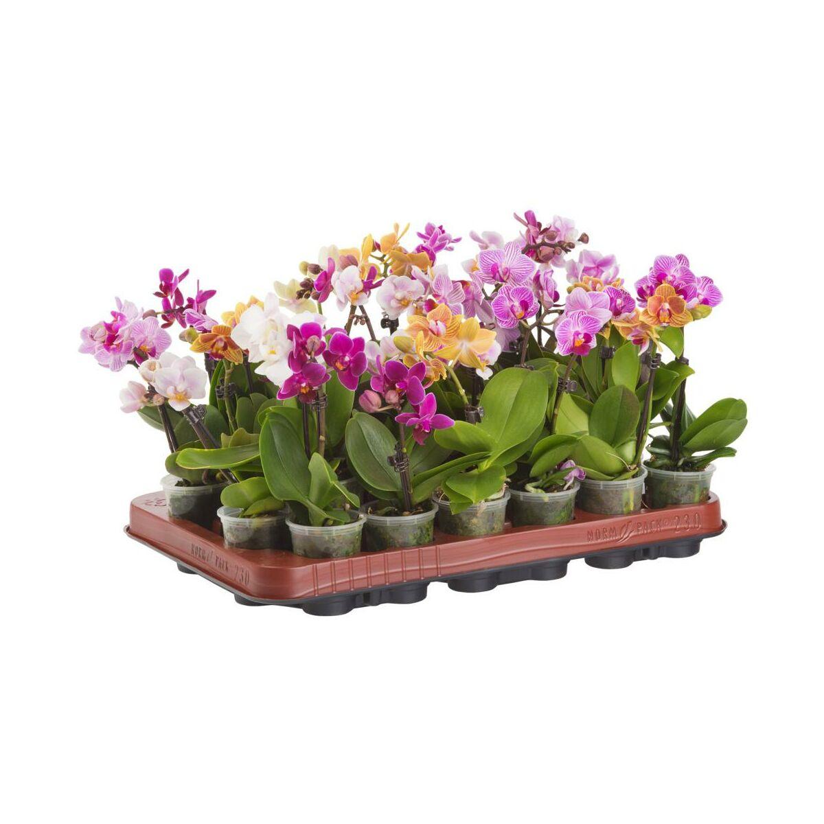 Storczyk Falenopsis Miniaturowy Little Lady Mix 15 20 Cm Rosliny Kwitnace W Atrakcyjnej Cenie W Sklepach Leroy Merlin