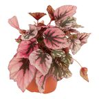 """Begonia Królewska """"Indian Summer"""" 22 cm"""