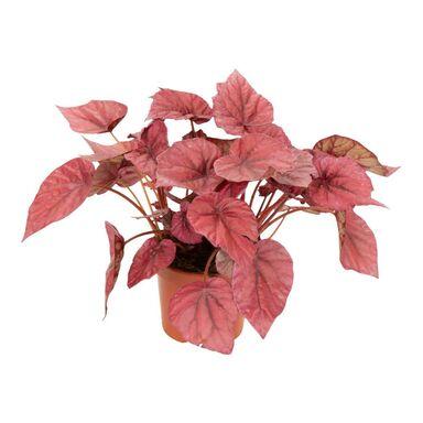 """Begonia Królewska """"Inca Flame"""" 22 cm"""