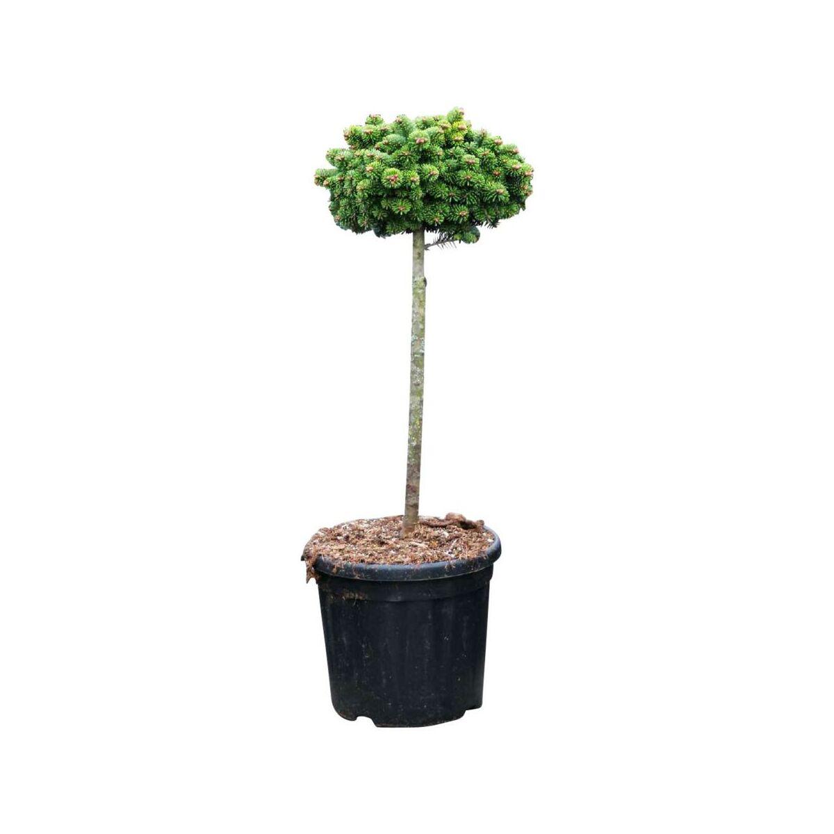 Krzew Jodla Kaukaska Kate Brook Forma Pienna 50 60 Cm Drzewa Ozdobne W Atrakcyjnej Cenie W Sklepach Leroy Merlin