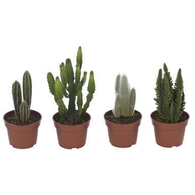 Kaktus MIX 50 cm