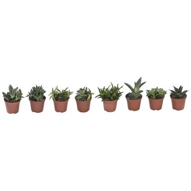Aloes ozdobny MIX 15 cm