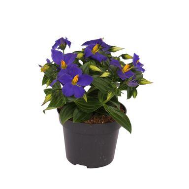 Goryczka tropikalna 'Blue Star' 20 cm