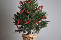 Choinka w doniczce – jak wybrać odpowiednie drzewko?