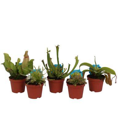 Rośliny owadożerne MIX 40 cm