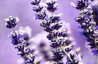 Lawenda – odrobina Prowansji w ogrodzie