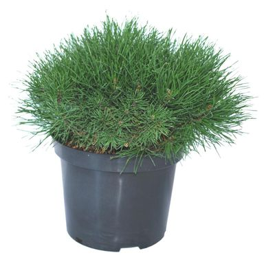Sosna górska 'Pumilio' 20 - 30 cm
