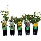 Krzewy ozdobne MIX 25 - 30 cm