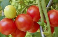 Uprawa pomidorów – jak wyhodować własne warzywa?