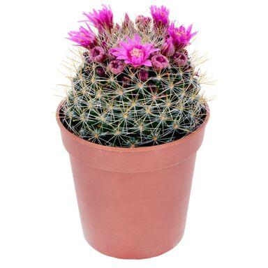 Kaktus kwitnący MIX 12 cm