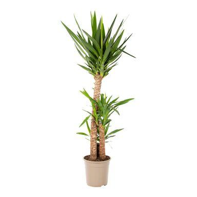 Yucca 130-140 cm