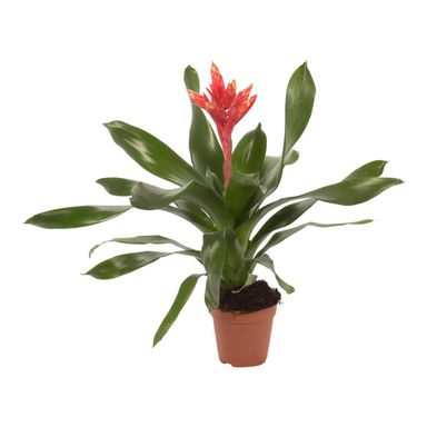 Echmea 'Elegant Red' 50 cm
