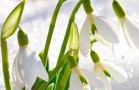 Przebiśnieg – piękny zwiastun nadchodzącej wiosny