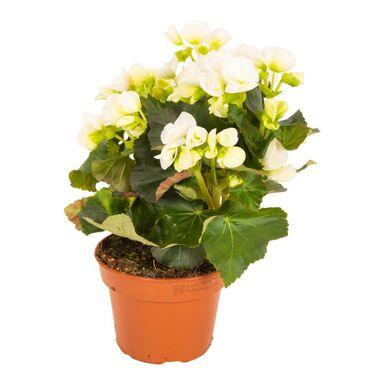 Begonia zimowa 30 cm
