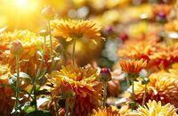 Chryzantemy – kwiaty jesieni
